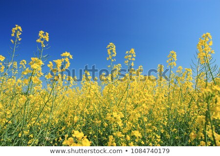 Rape flowers field under sunlight Stock photo © kawing921
