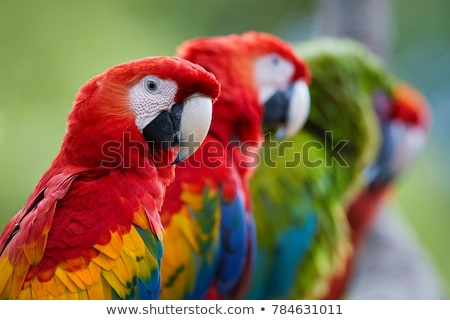 Ara macaw portrait Stock photo © Elenarts