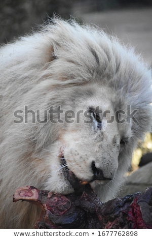 Lion with big mane eating Stock photo © TanArt