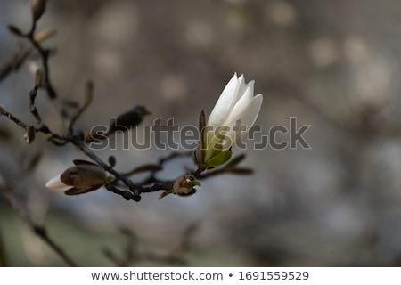magnolia bud stock photo © manfredxy