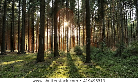 Sunset silhouette throught the Pines Stock photo © wildnerdpix