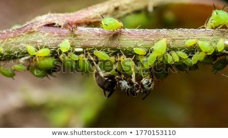 Hangyák szár virág állat rovar rovar Stock fotó © manfredxy