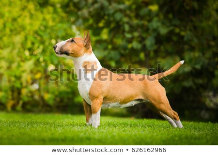 bull terrier Stock photo © cynoclub