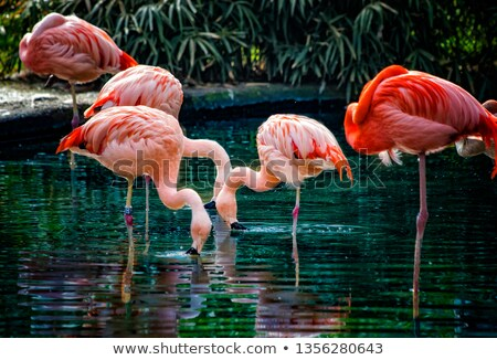 Pink flamingo in the water on a tropical scenery stock photo © Sportactive