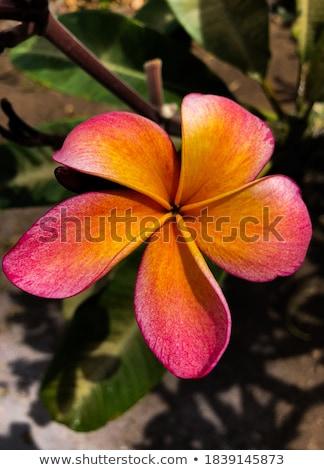 belle · fleurs · branche · tropicales · fleur · arbre - photo stock © master1305