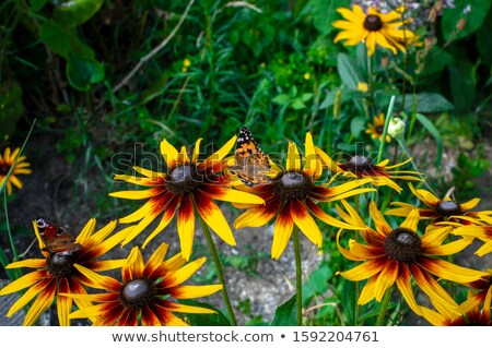 Monarch butterfly drinks daisy flower nectar Stock photo © yhelfman
