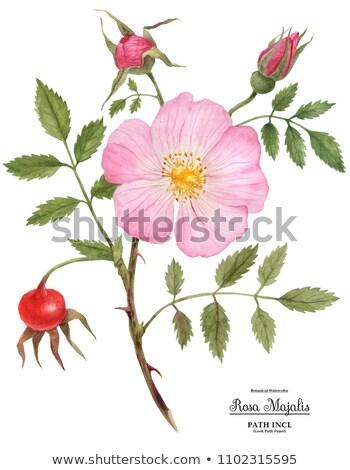 Branch of wild rose Stock photo © BSANI