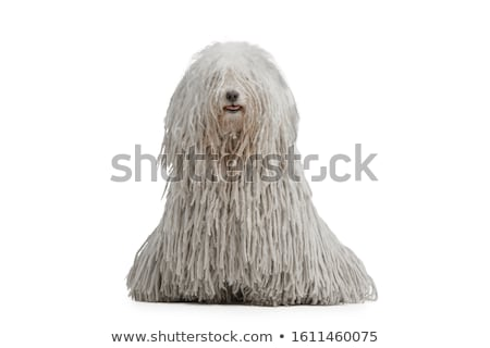 happy puli portrait in studio Stock photo © vauvau