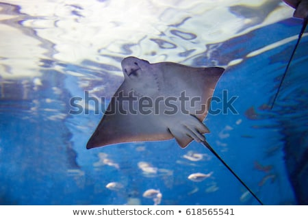 Stingray fishes swimming free Stock photo © artjazz