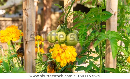 Marigolds growing with tomatoes as companion planting Stock photo © sarahdoow