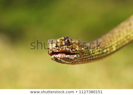 orientale · serpente · ritratto · guardando · fotocamera · testa - foto d'archivio © taviphoto