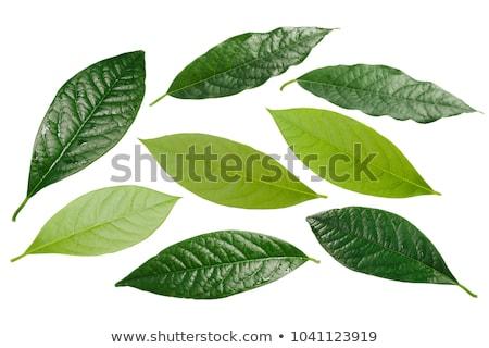 Aguacate hojas todo mitad verde sombra Foto stock © maxsol7