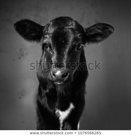 Little calf standing on white background Stock photo © colematt