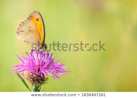 Stock photo: butterfly on centaurea