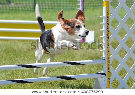 Kicsi kutya mozgékonyság portré gyönyörű fehér Stock fotó © cynoclub