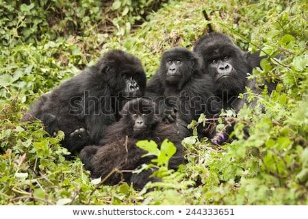 Hegy gorilla csoport park Ruanda erdő Stock fotó © ajlber