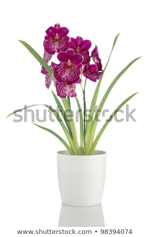 Pansy Orchid - Miltonia Lawless Falls Photo stock © homydesign
