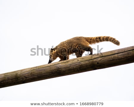 Ring-tailed Coati  Stock photo © SRNR