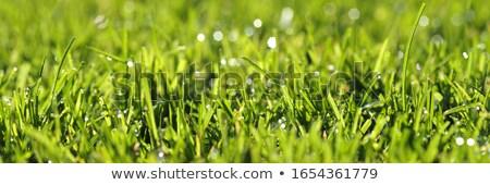 зеленый · лист · капли · воды · природного · Солнечный · воды · весны - Сток-фото © jonnysek