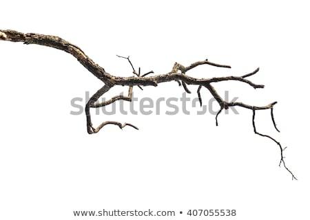 Zweig toter Baum Blätter blauer Himmel Baum Wald Stock foto © stoonn