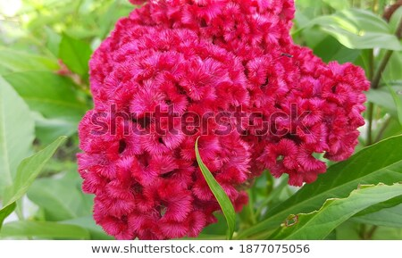 Roze bloem tuin bloemblaadjes Stockfoto © stocker