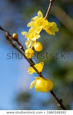 黄色 花 冬 花 ツリー 工場 ストックフォト © shihina