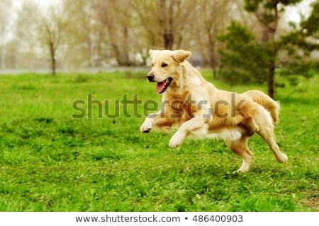 работает Золотистый ретривер красивой чистокровных собак за пределами лет Сток-фото © bigandt