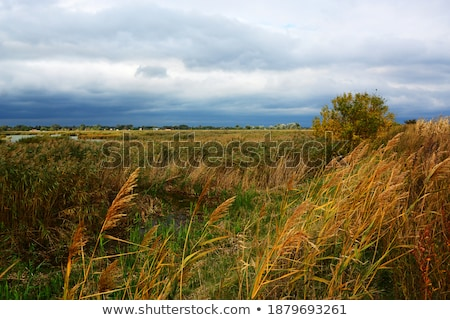 reeds of grass with cloudy sky  Stock photo © meinzahn