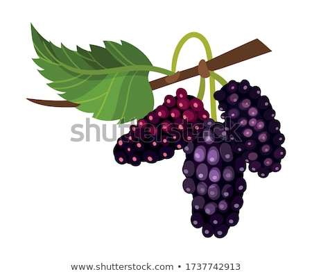Mulberry Tree Stock photo © Kayco
