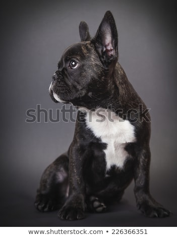 dog pppy bulldog stock photo © oleksandro