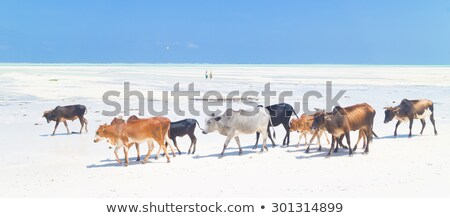 Szarvasmarha tengerpart sétál vonal kép tökéletes Stock fotó © kasto