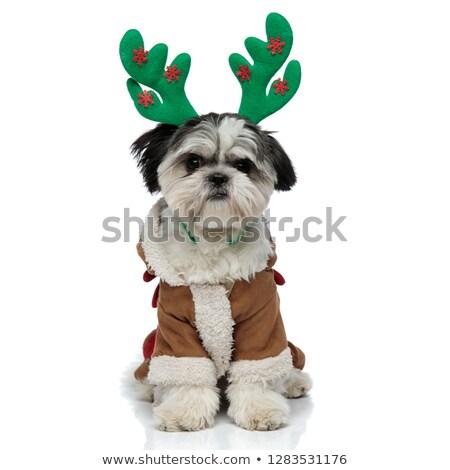 puppy shih tzu and christmas Stock photo © cynoclub