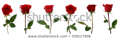 Red rose flower isolated on white Stock photo © ssuaphoto