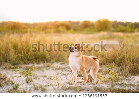 Beautiful shiba inu puppy  stock photo © svetography
