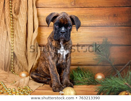 Christmas card with a dog sitting in front of branches with decorated balls and holding an envelope  stock photo © heliburcka