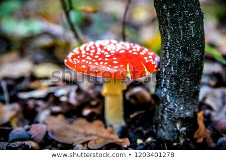 king bolete under oak tree Stock photo © romvo