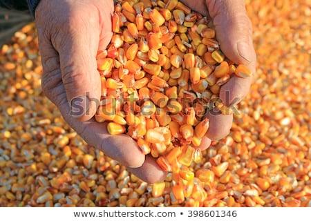 Corn after harvest, farmers hands with crop Stock photo © simazoran