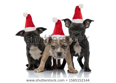 karácsony · kiskutyák · három · francia · szezonális · kutyakölyök - stock fotó © feedough