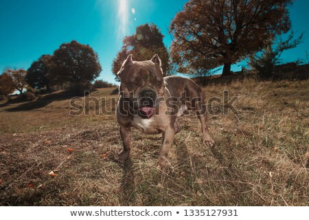 American bully standing in a field with tongue exposed Stock photo © feedough