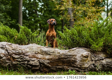 Portrait of an adorable Rhodesian ridgeback Stock photo © vauvau