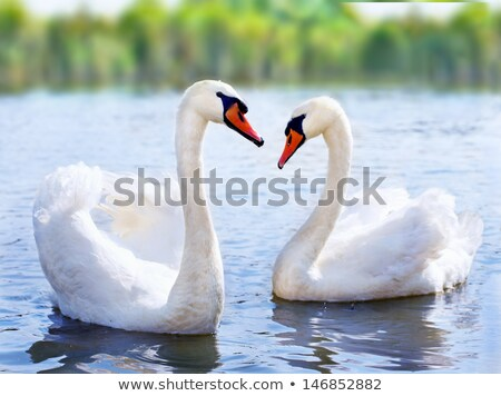 The lake of white swans swim peacefully. Stock photo © justinb