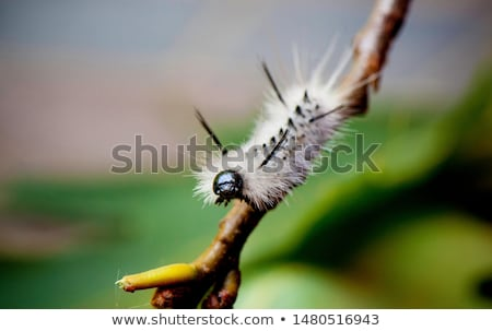 Hickory Tussock Moth Caterpiller Stock photo © brm1949