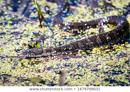 Northern Water Snake Stock photo © brm1949