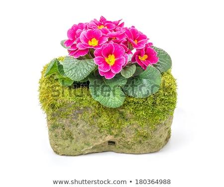 Vermelho prímula flor flores pedra vintage Foto stock © Zerbor