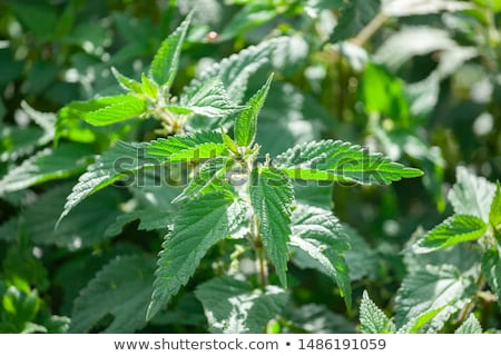 Wild nettles growing in the spring Stock photo © pixelman