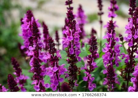 çayır adaçayı mavi çiçekler parlak çiçek Stok fotoğraf © joker