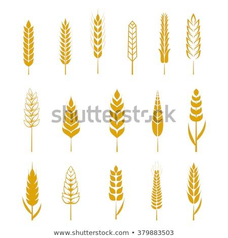 органический весны зерна пшеницы подробность лет Сток-фото © artush