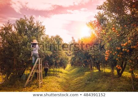 man harvesting oranges from a tree Stock photo © nito