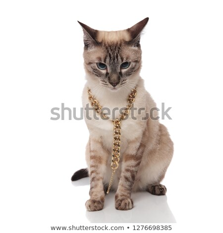 seated burmese cat wearing agolden chain necklace looks down Stock photo © feedough
