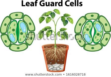 Schemat liści straży odizolowany ilustracja Zdjęcia stock © bluering